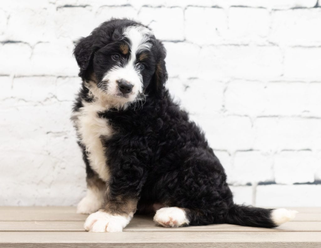 A picture of a Xena, one of our Standard Bernedoodles for sale