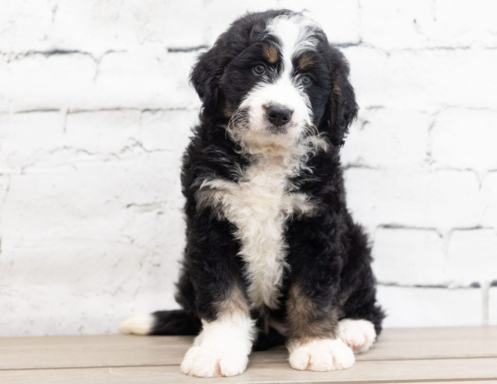 Xena is an F1 Bernedoodle.