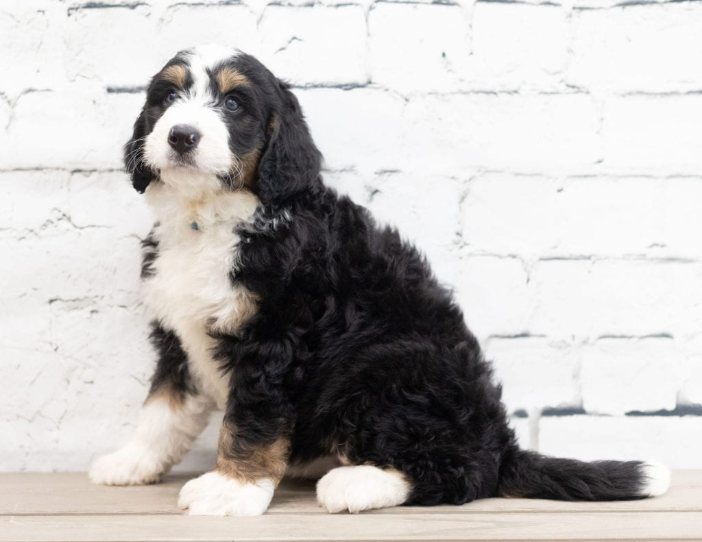 """Xyla is an F1 Bernedoodle that will be hypoallergenic. Read more about what a dog being hypoallergenic means on our latest blog post, """"The New Breed Everyone Seems to Want"""""""