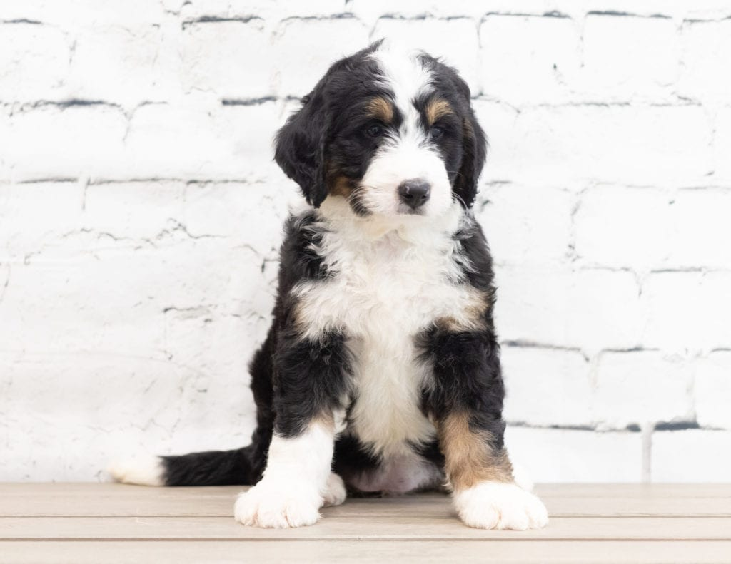 A picture of a Xyla, one of our Standard Bernedoodles for sale
