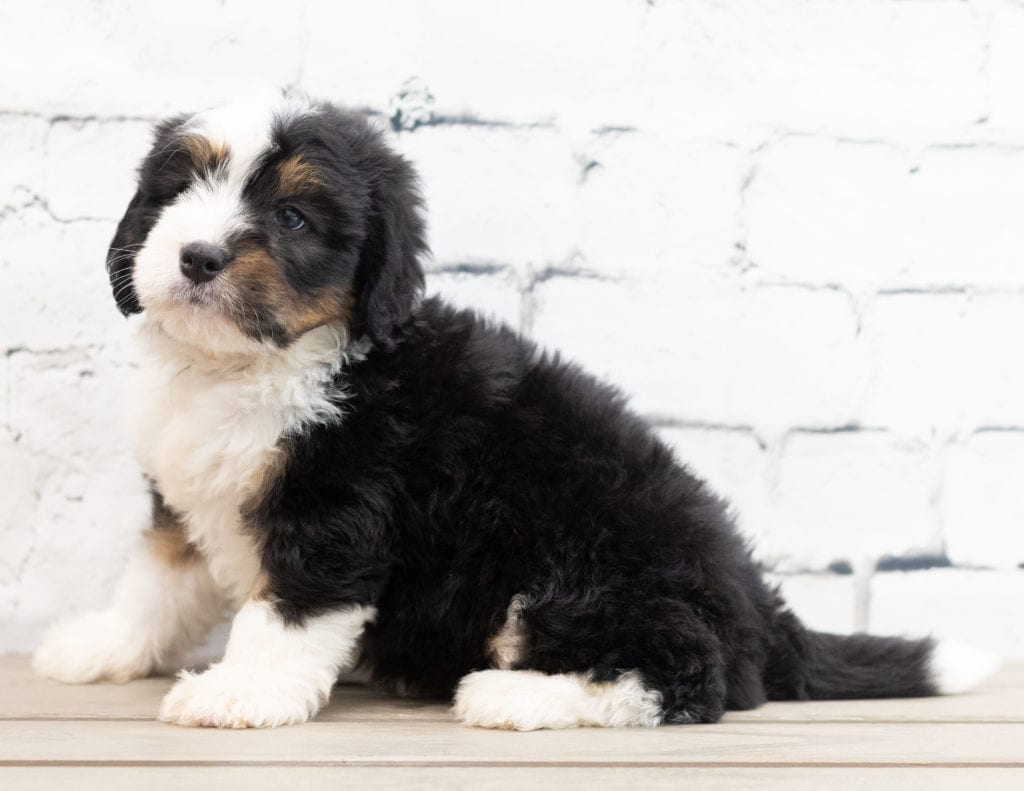 A picture of a Zac, one of our Mini Bernedoodles puppies that went to their home in Georgia
