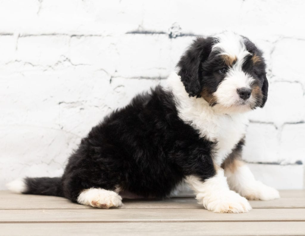 Zac is an F1 Bernedoodle that should have  and is currently living in Georgia