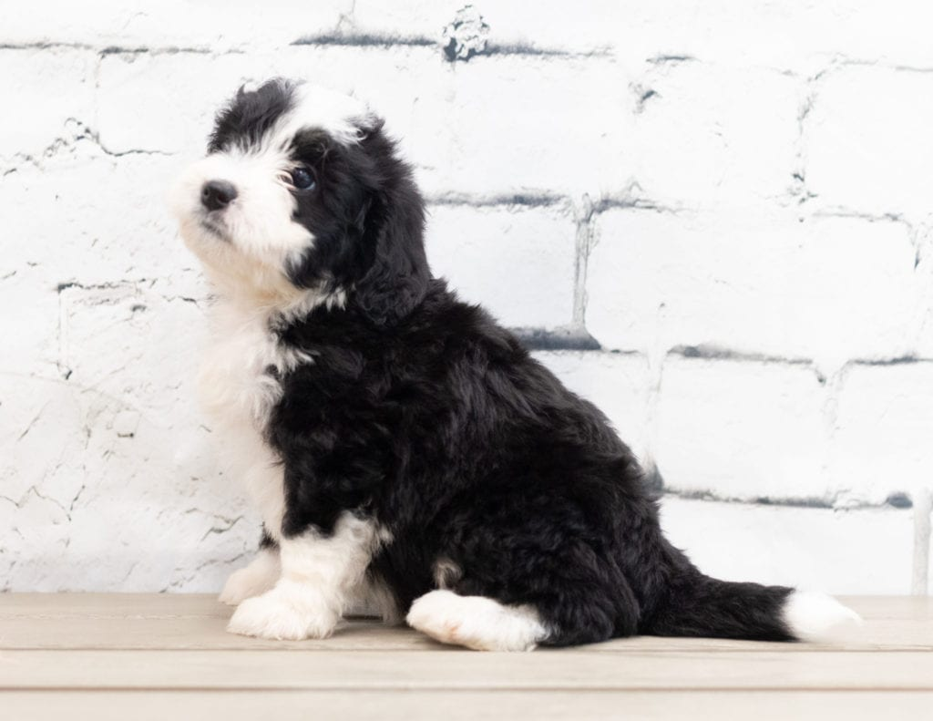 Zelda is an F1 Bernedoodle that should have  and is currently living in Iowa