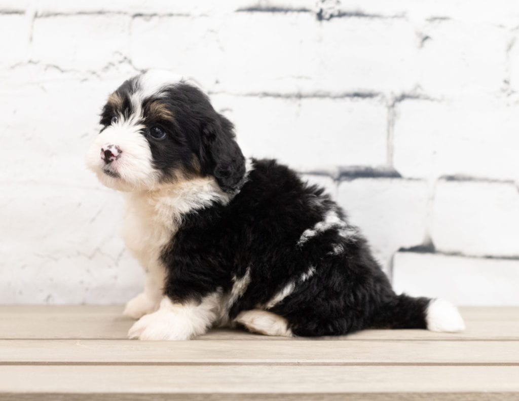 A picture of a Zane, one of our Mini Bernedoodles puppies