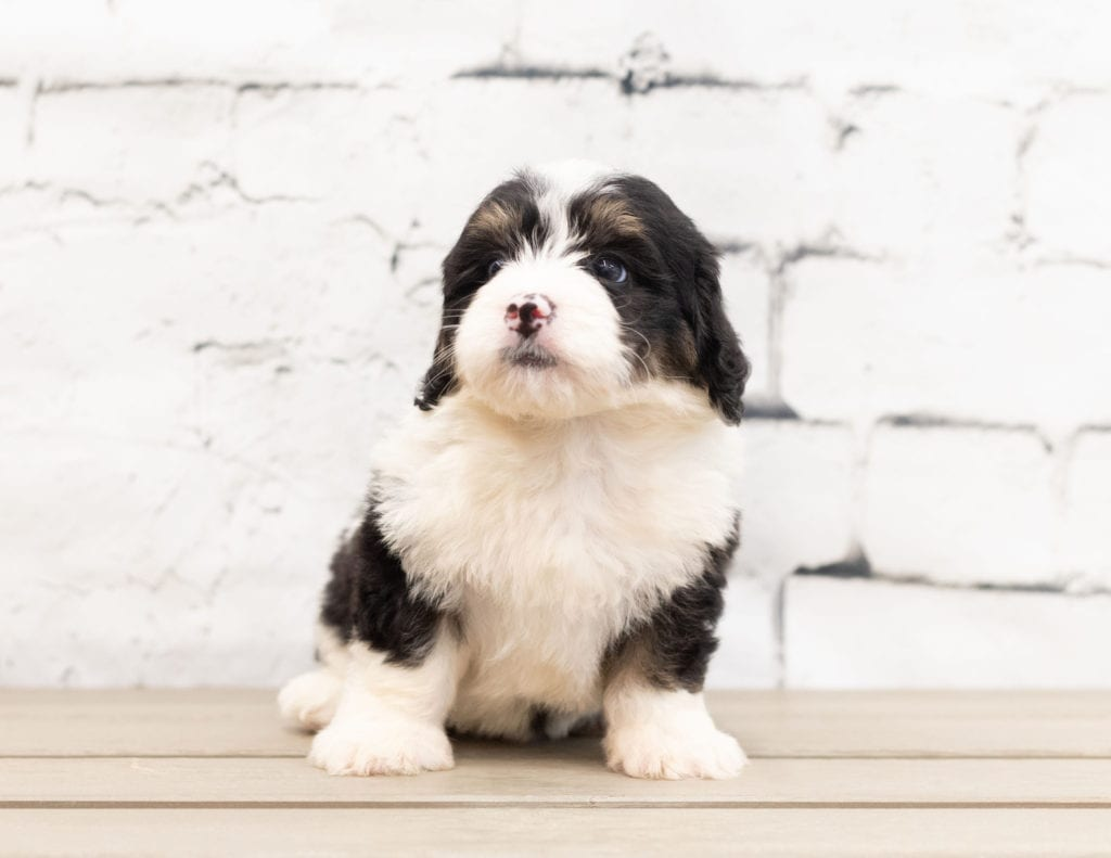 "Zane is an F1 Bernedoodle that will be hypoallergenic. Read more about what a dog being hypoallergenic means on our latest blog post, ""The New Breed Everyone Seems to Want"""