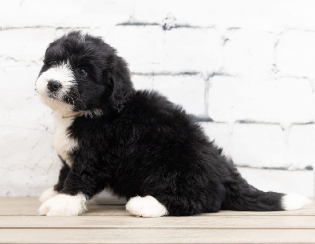 Zango is an F1 Bernedoodle that should have  and is currently living in California