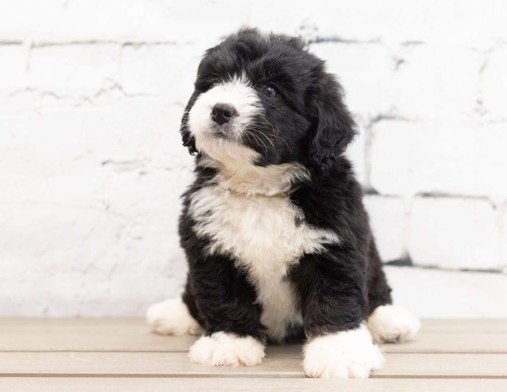 A picture of a Zango, one of our Mini Bernedoodles puppies that went to their home in California