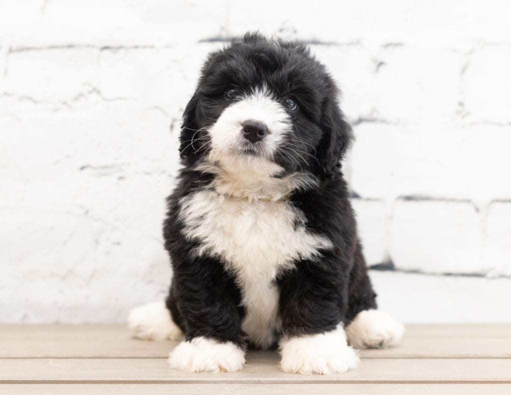 Zango came from Tyrell and Grimm's litter of F1 Bernedoodles