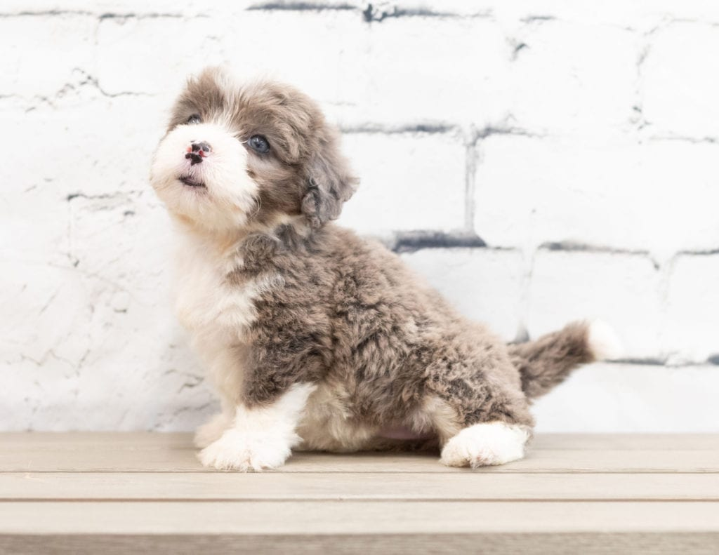 "Zani is an F1 Bernedoodle that will be hypoallergenic. Read more about what a dog being hypoallergenic means on our latest blog post, ""The New Breed Everyone Seems to Want"""