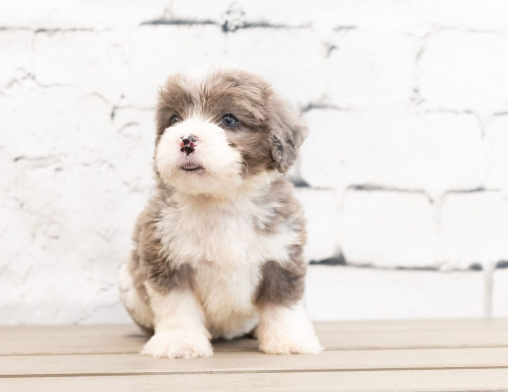 A picture of a Zani, one of our Mini Bernedoodles puppies