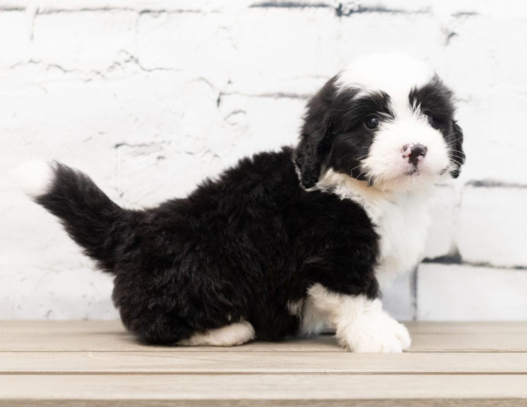 A picture of a Zap, one of our Mini Bernedoodles puppies that went to their home in Canada