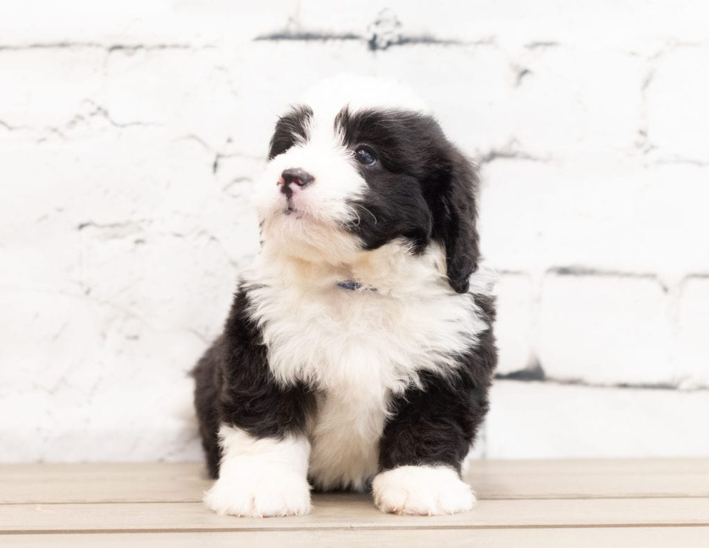 Zap is an F1 Bernedoodle that should have  and is currently living in Canada