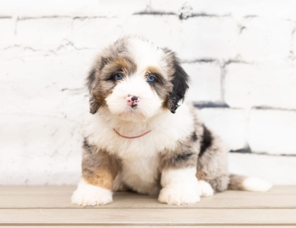 "Zara is an F1 Bernedoodle that will be hypoallergenic. Read more about what a dog being hypoallergenic means on our latest blog post, ""The New Breed Everyone Seems to Want"""