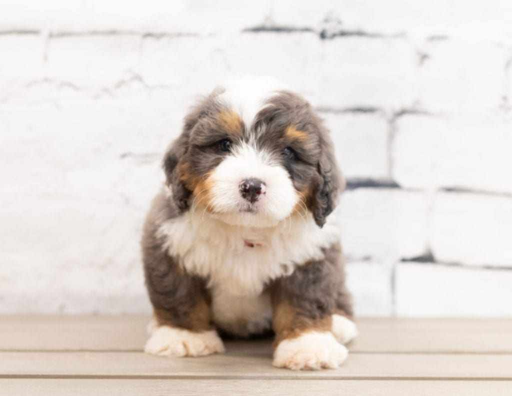 "Zed is an F1 Bernedoodle that will be hypoallergenic. Read more about what a dog being hypoallergenic means on our latest blog post, ""The New Breed Everyone Seems to Want"""