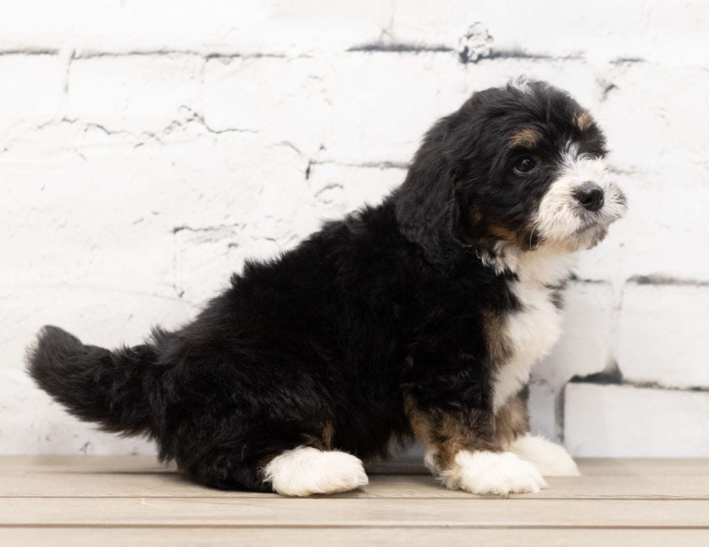 "Zeek is an F1 Bernedoodle that will be hypoallergenic. Read more about what a dog being hypoallergenic means on our latest blog post, ""The New Breed Everyone Seems to Want"""