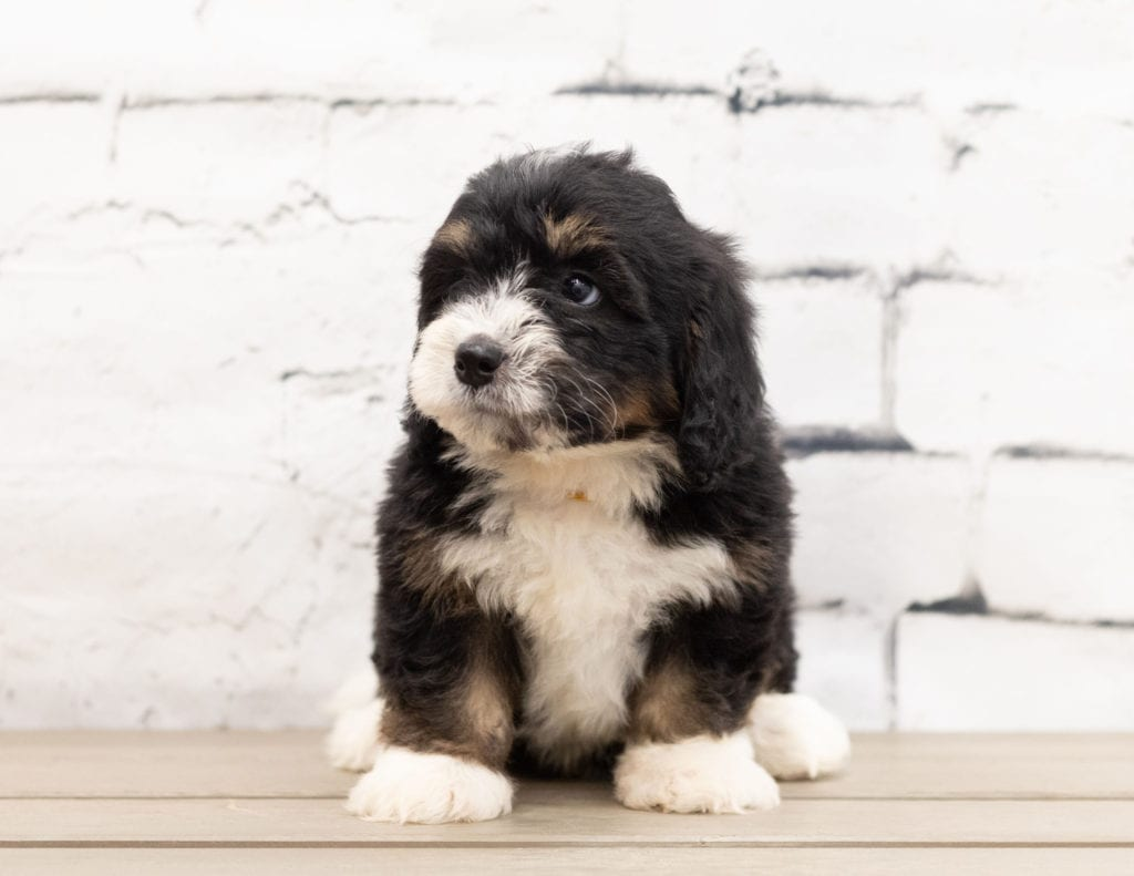 A picture of a Zeek, one of our Mini Bernedoodles puppies