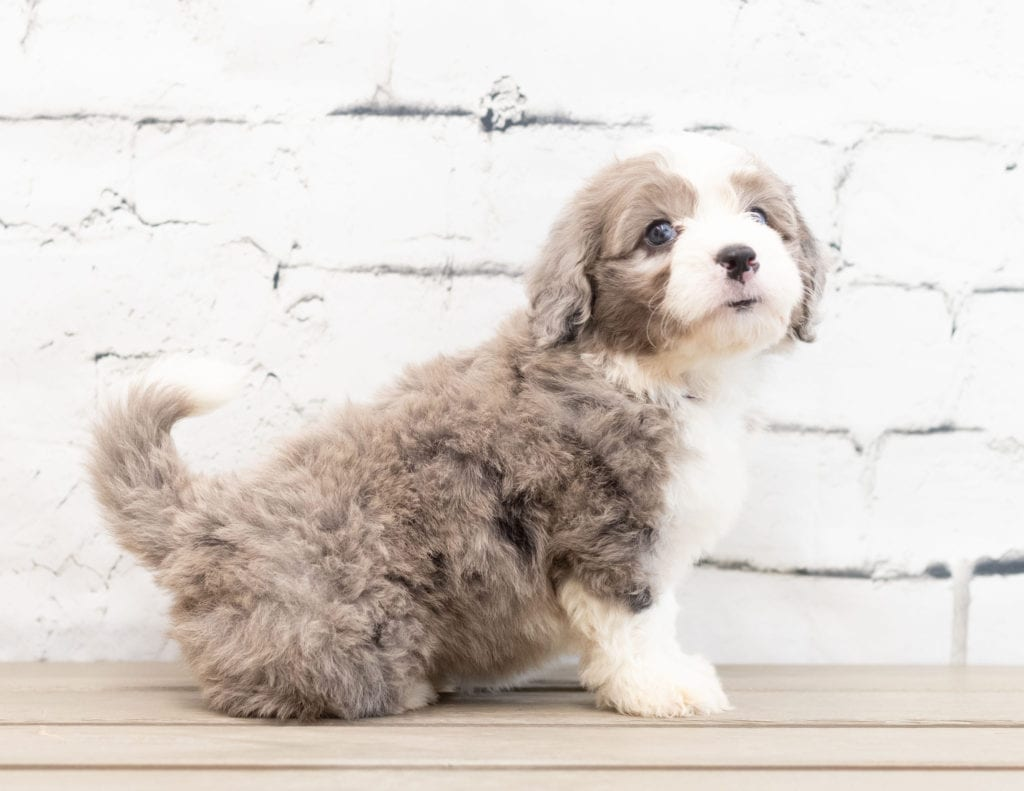"Zeena is an F1 Bernedoodle that will be hypoallergenic. Read more about what a dog being hypoallergenic means on our latest blog post, ""The New Breed Everyone Seems to Want"""