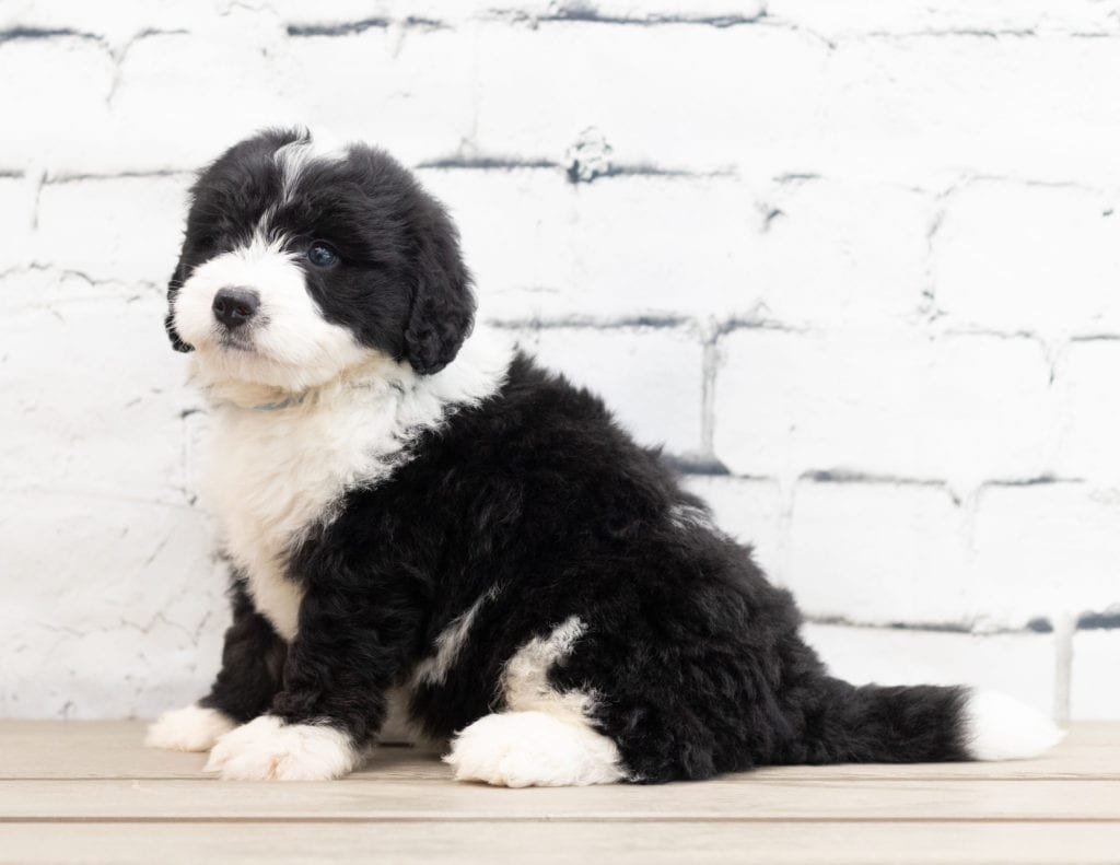 A picture of a Zamp, one of our Mini Bernedoodles puppies that went to their home in Florida