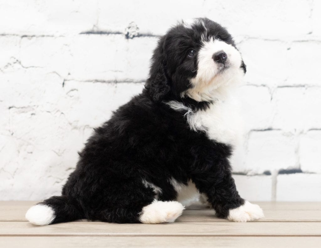 Zamp is an F1 Bernedoodle that should have  and is currently living in Florida
