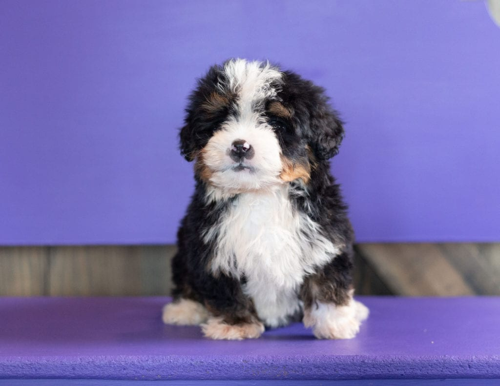 Another great picture of Zen, a Bernedoodles puppy