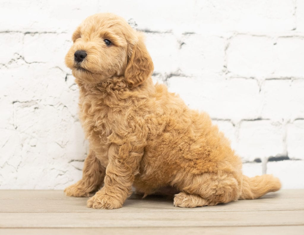 Yac came from KC and Reggie's litter of F1 Goldendoodles