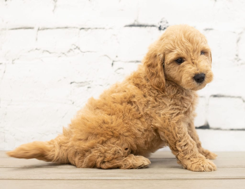 Yac is an F1 Goldendoodle.