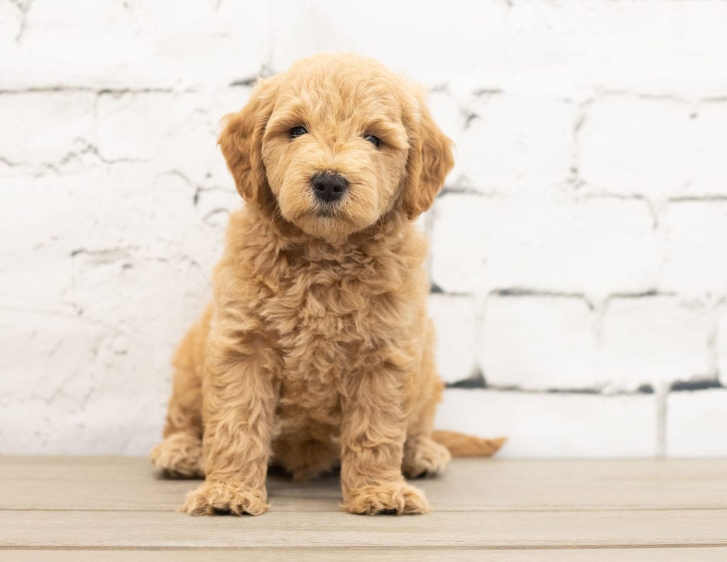 A picture of a Yac, one of our Mini Goldendoodles for sale