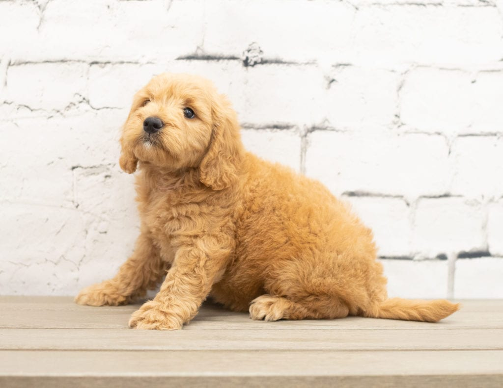 Yackie came from KC and Reggie's litter of F1 Goldendoodles