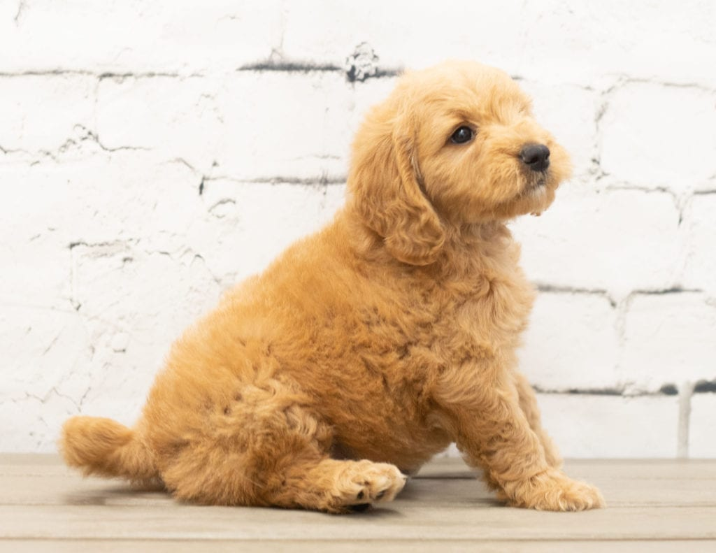 Yackie is an F1 Goldendoodle.