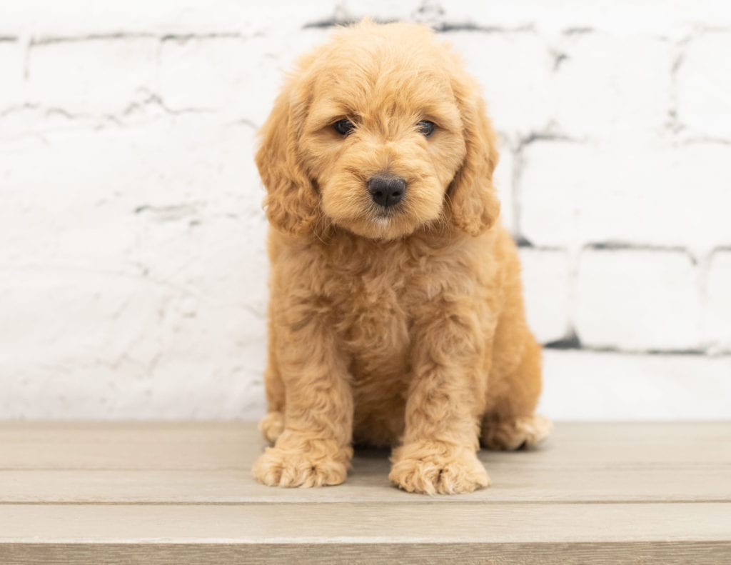 A picture of a Yackie, one of our Mini Goldendoodles for sale