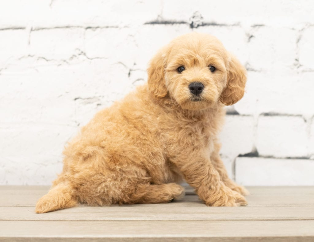 Yackson came from KC and Reggie's litter of F1 Goldendoodles