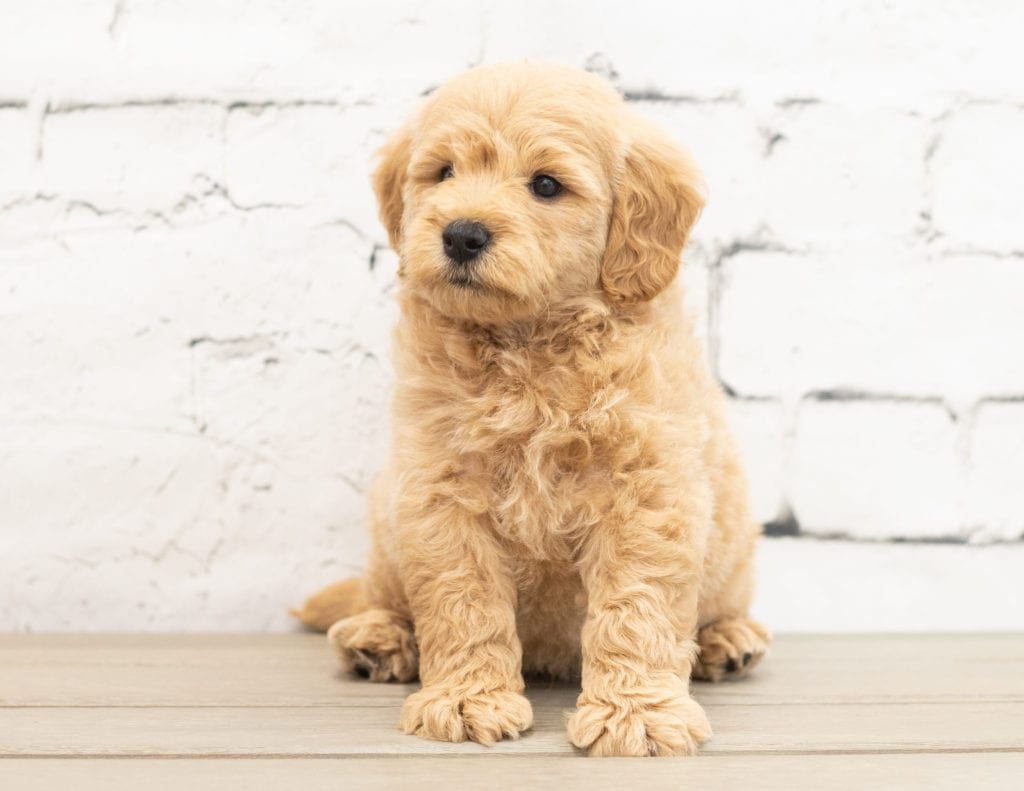 A picture of a Yackson, one of our Mini Goldendoodles for sale