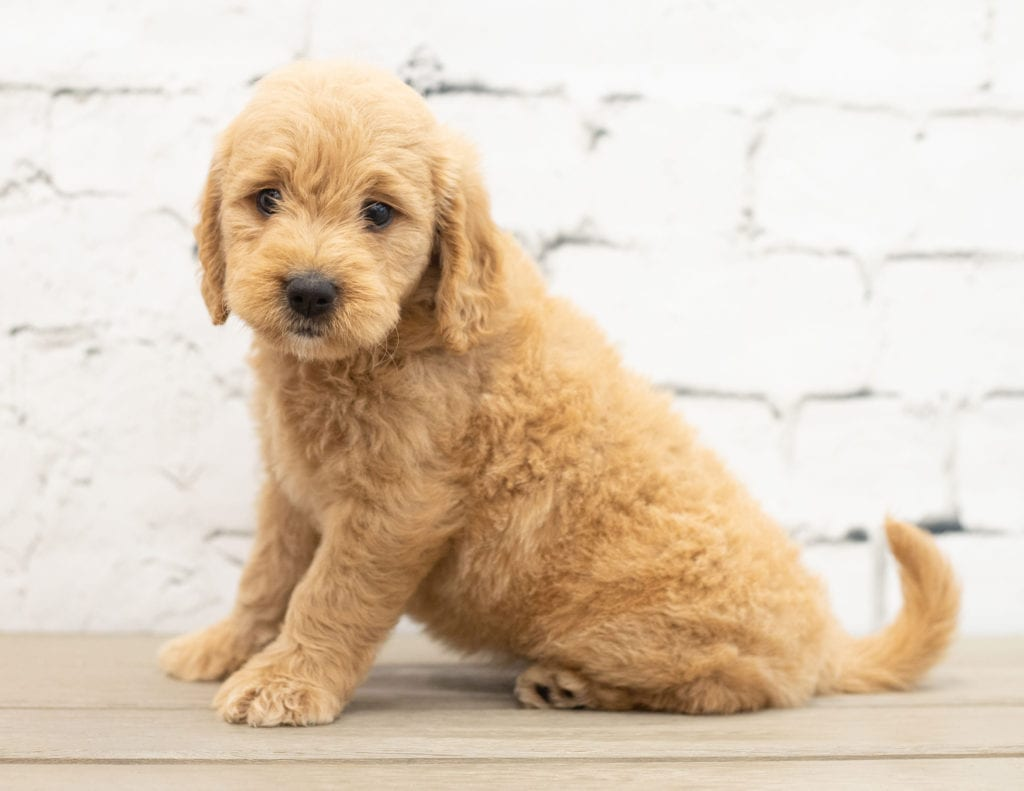 Yalli is an F1 Goldendoodle.