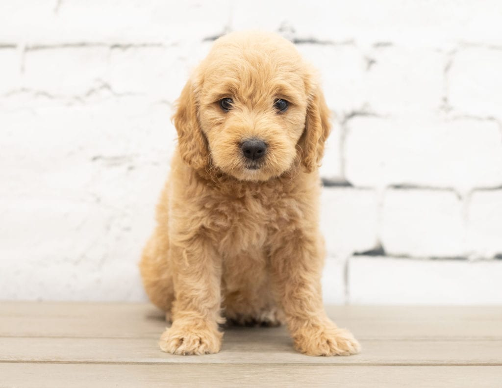 A picture of a Yalli, one of our Mini Goldendoodles for sale