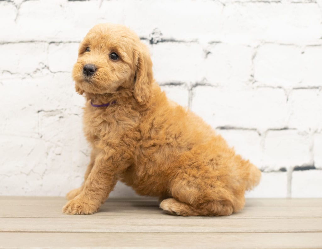 Yammi came from KC and Reggie's litter of F1 Goldendoodles