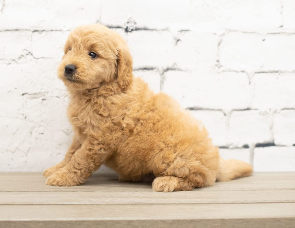 Yankor came from KC and Reggie's litter of F1 Goldendoodles