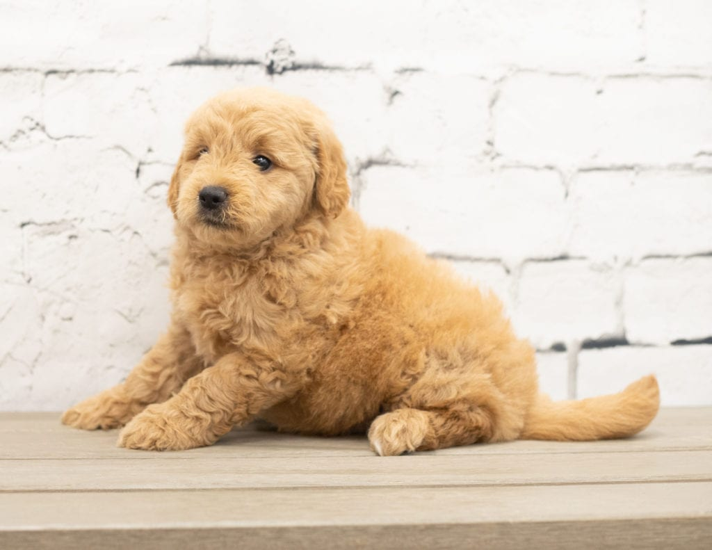 Yankor is an F1 Goldendoodle that should have  and is currently living in Maryland