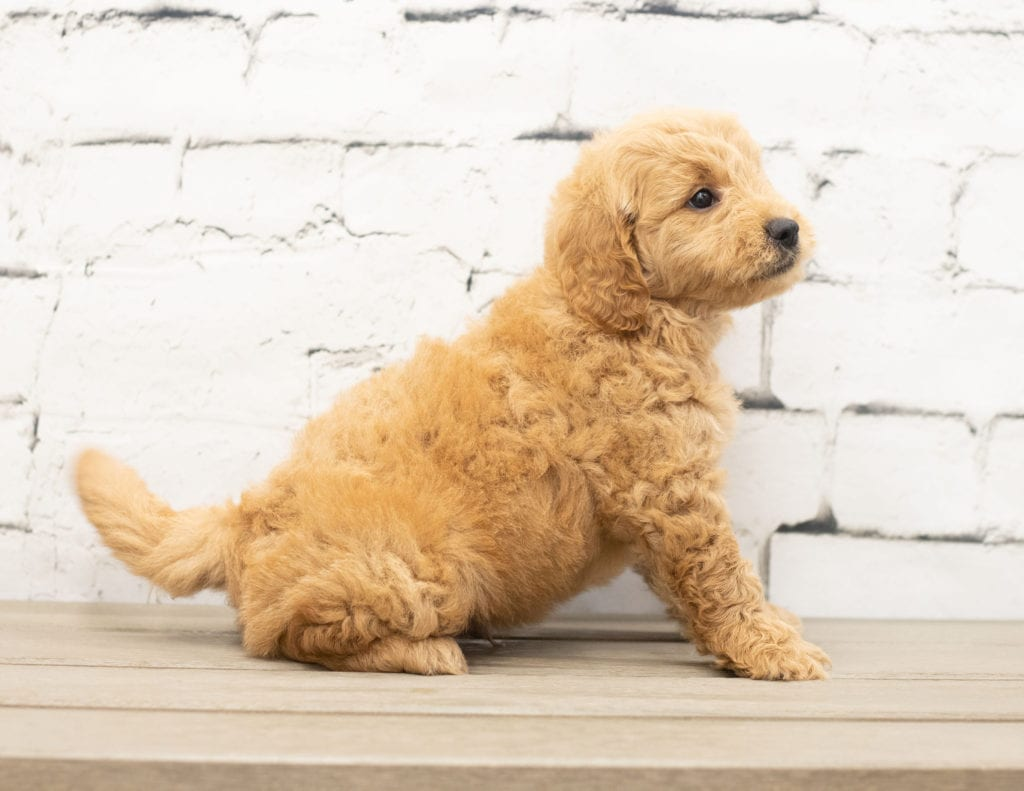 Another great picture of Yankor, a Goldendoodles puppy