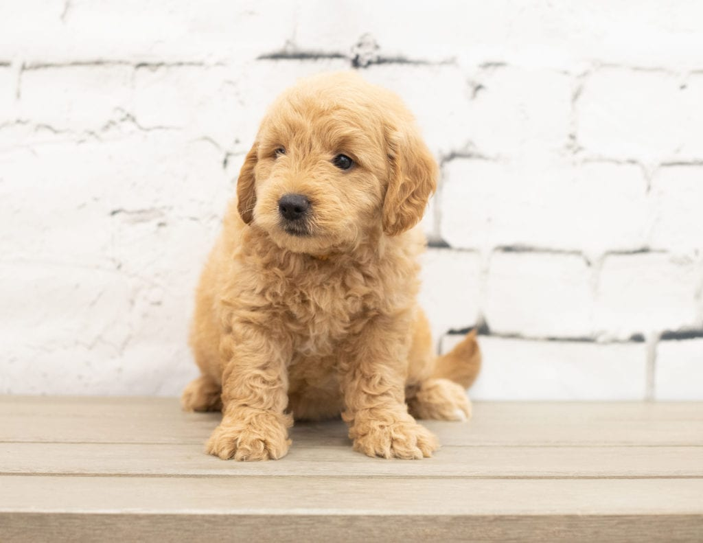 A picture of a Yankor, one of our Mini Goldendoodles puppies that went to their home in Maryland