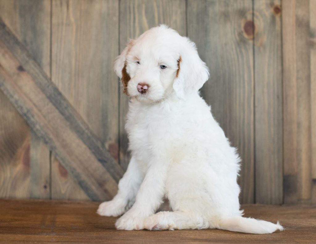 Dezi is an F1BB Goldendoodle that should have  and is currently living in Texas