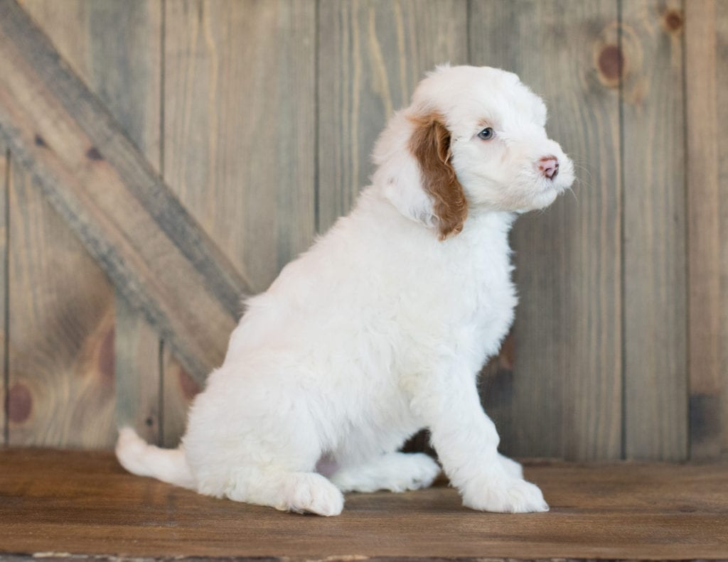 Dezi came from Paisley and Scout's litter of F1BB Goldendoodles