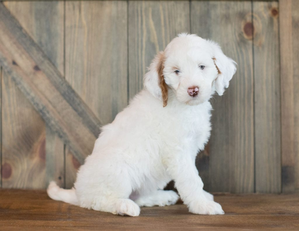 Another great picture of Dezi, a Goldendoodles puppy