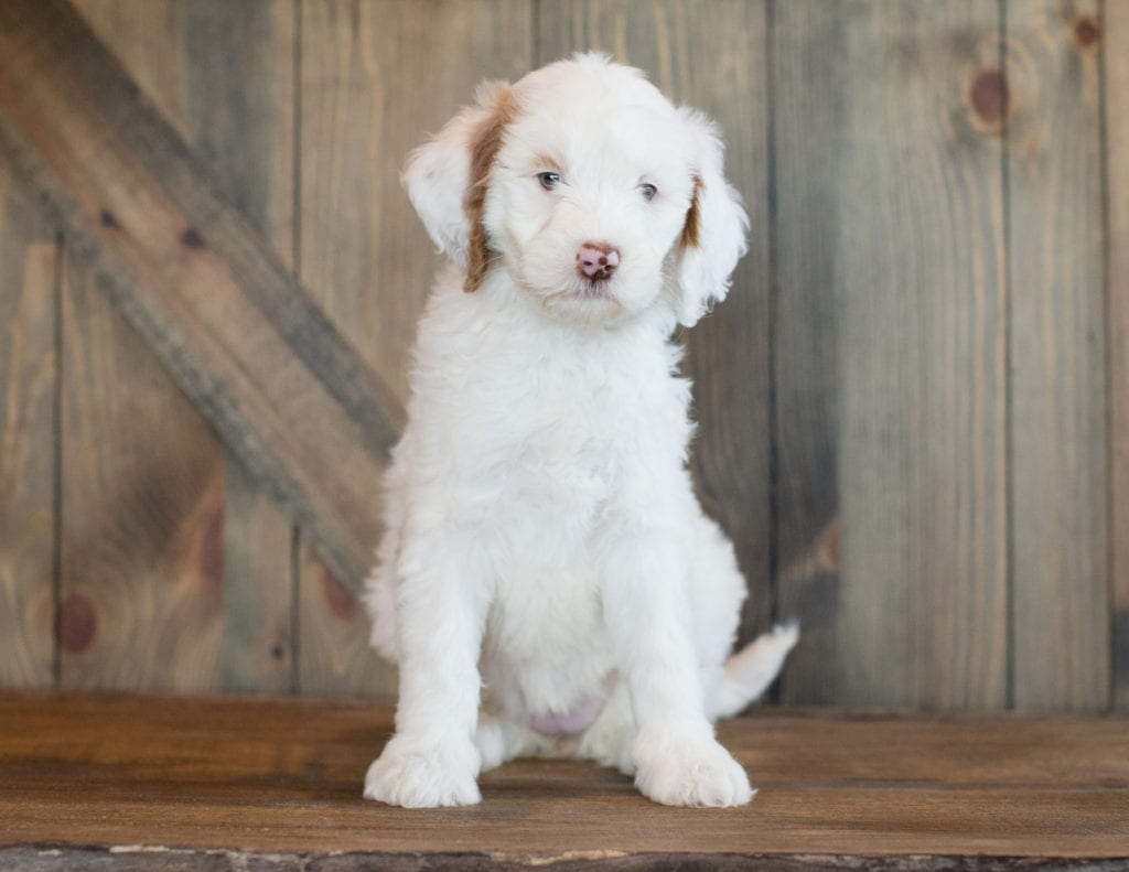 A picture of a Dezi, one of our Mini Goldendoodles puppies that went to their home in Texas