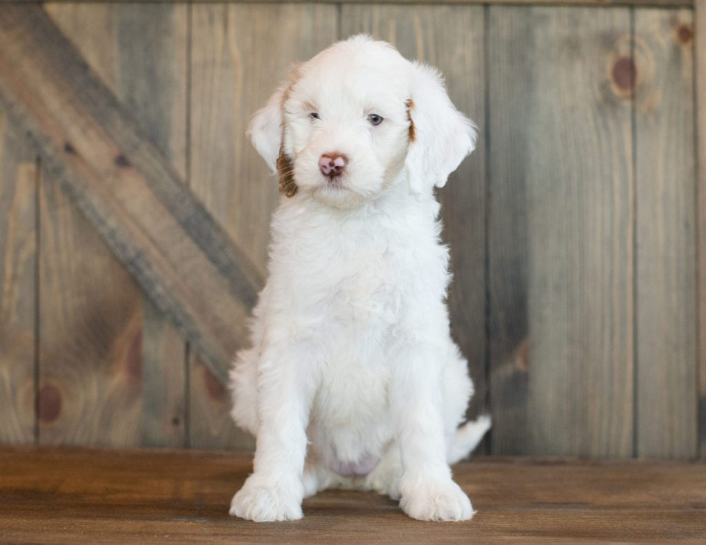 Dezi was born on 06/23/2019 and is a Texas Goldendoodle