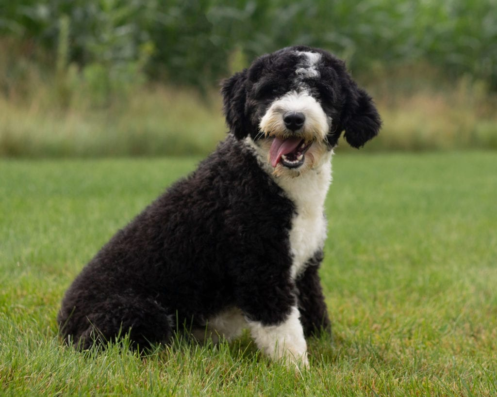 Ella is an F1 Sheepadoodle and a mother here at Poodles 2 Doodles, Sheepadoodle and Bernedoodle breeder from Iowa