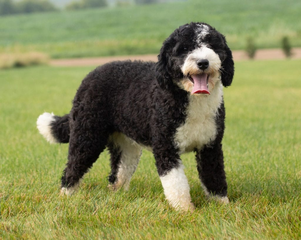 A picture of one of our Sheepadoodle mother's, Ella.