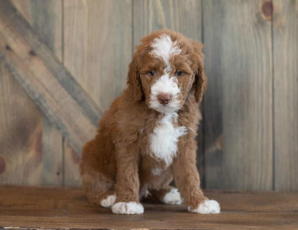 Euro is an F1B Goldendoodle that should have  and is currently living in South Dakota