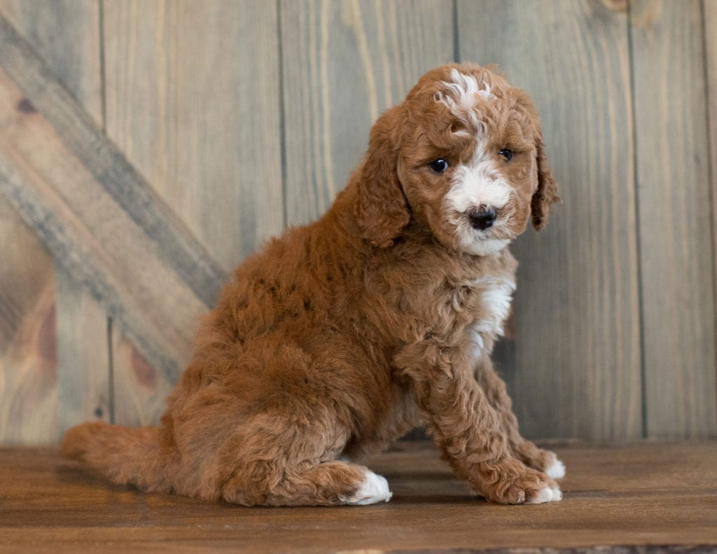 Eve came from Leia and Scout's litter of F1B Goldendoodles
