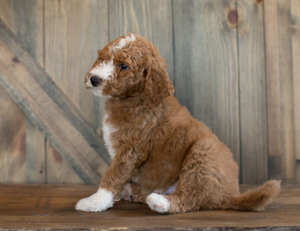 Ezi is an F1B Goldendoodle that should have  and is currently living in Massachusetts