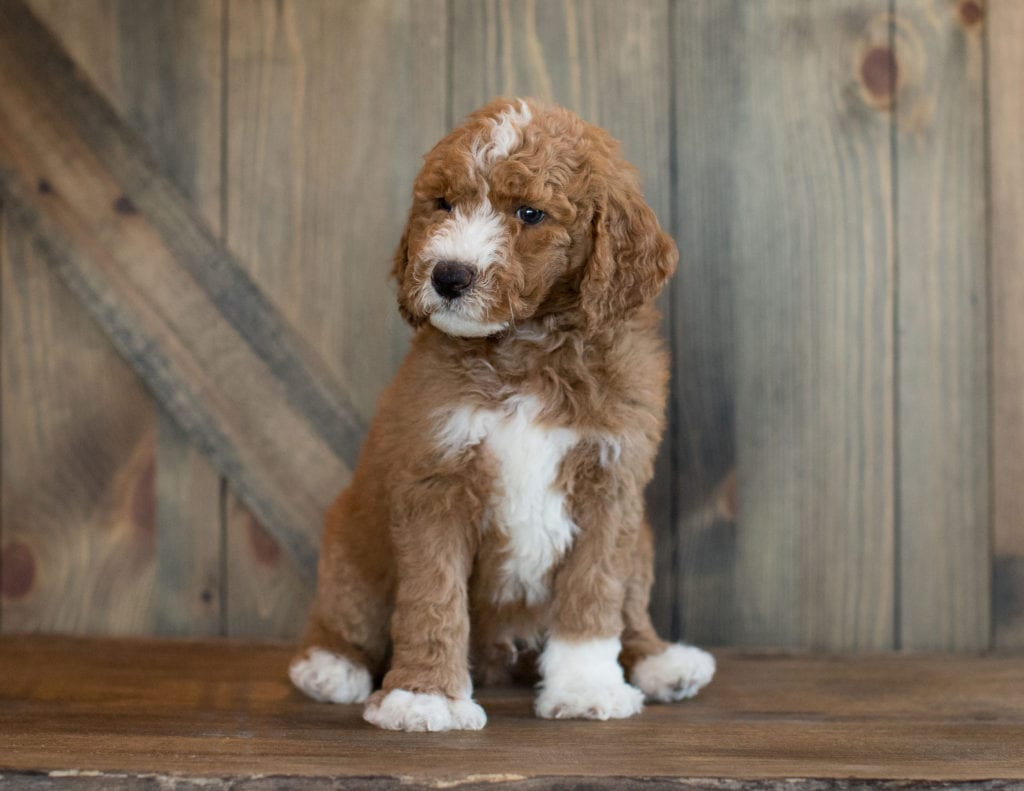 Ezi came from Leia and Scout's litter of F1B Goldendoodles